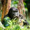 Gorilla Being Studied by a Comparative Psychologist in the Forest | Careers in Psychology